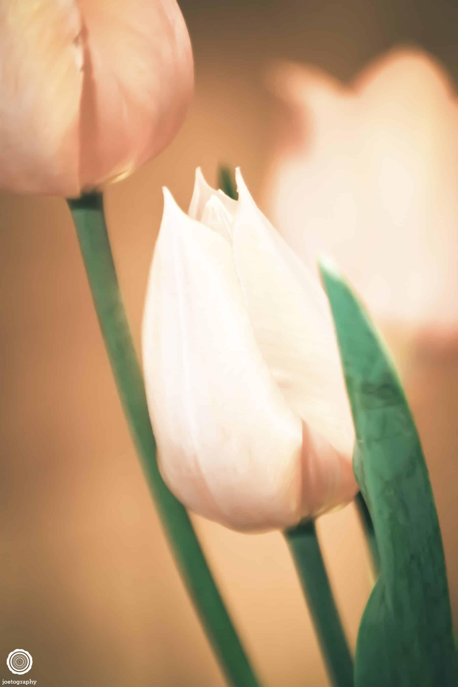 anatomy-tulip-nature-photography-indianapolis-1