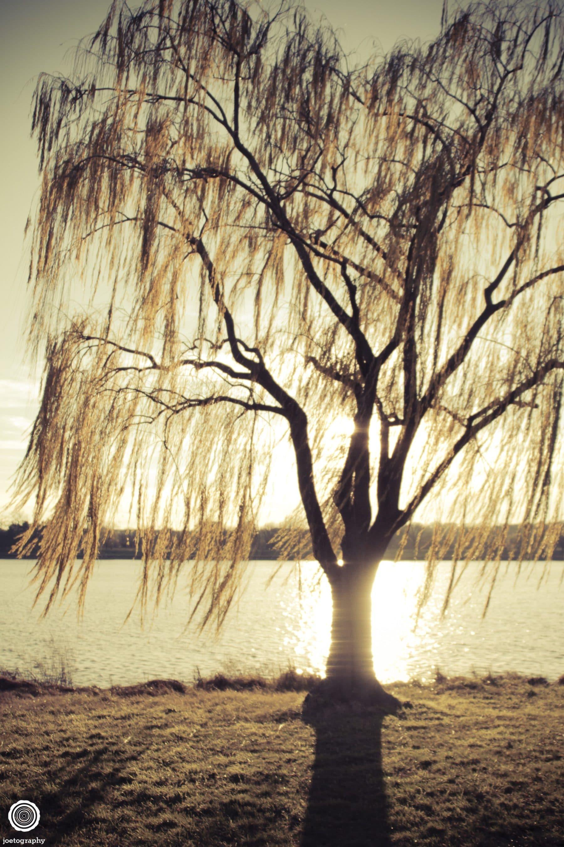 weeping-willow-nature-photography-washington-dc-1