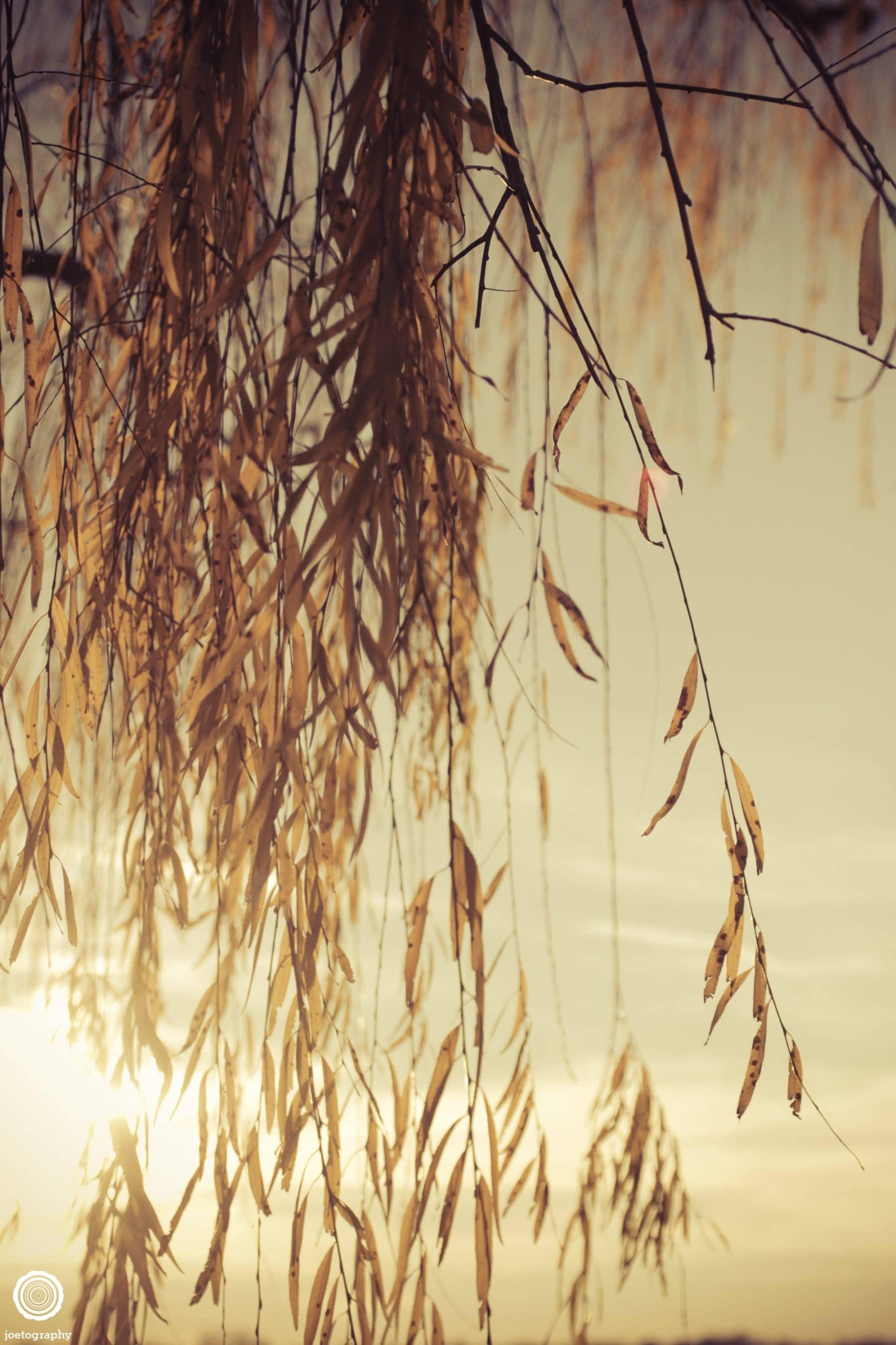 weeping-willow-nature-photography-washington-dc-4