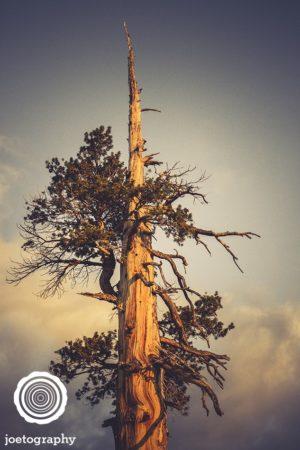 Tree_Pick