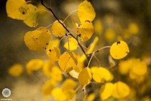 – aspen leaves - colorado springs