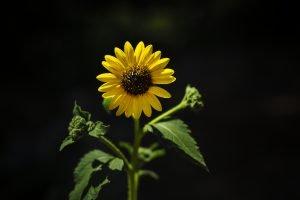 summer sunflower in colorado springs